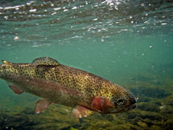 Precinct 4 Parks Scheduled to Receive Rainbow Trout