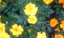 Benefits of Marigolds