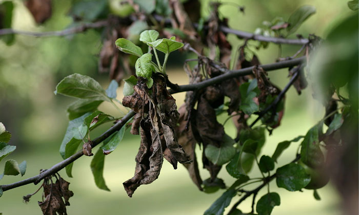 Watch Out for Fire Blight in Texas Trees